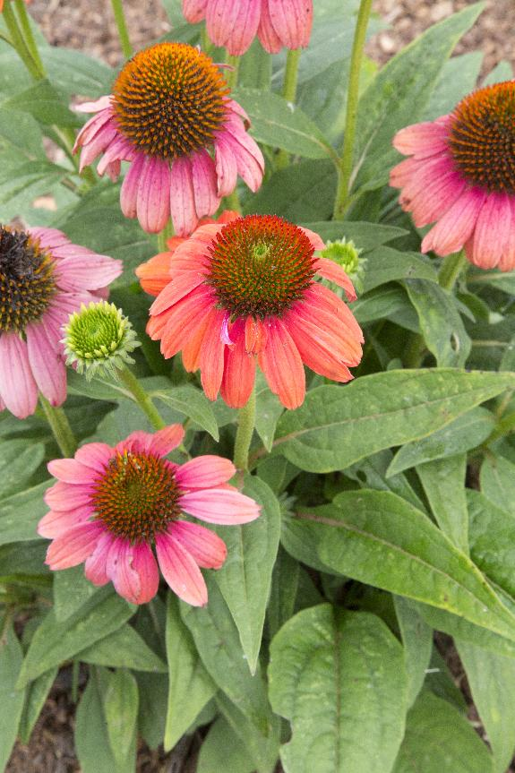 Hot Coral Coneflower