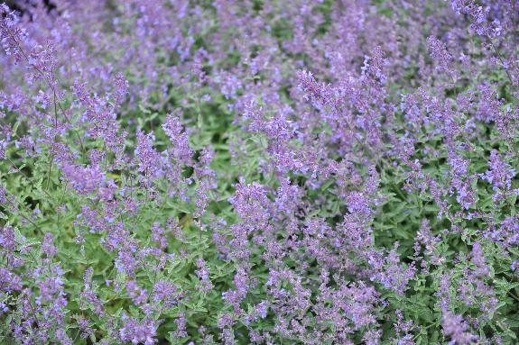 Junior Walker Catmint