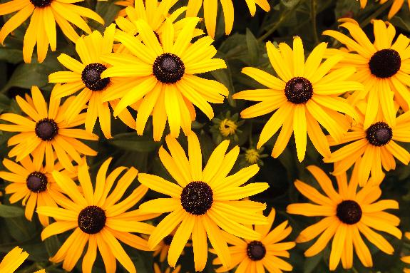 Little Suzy Blackeyed Susan